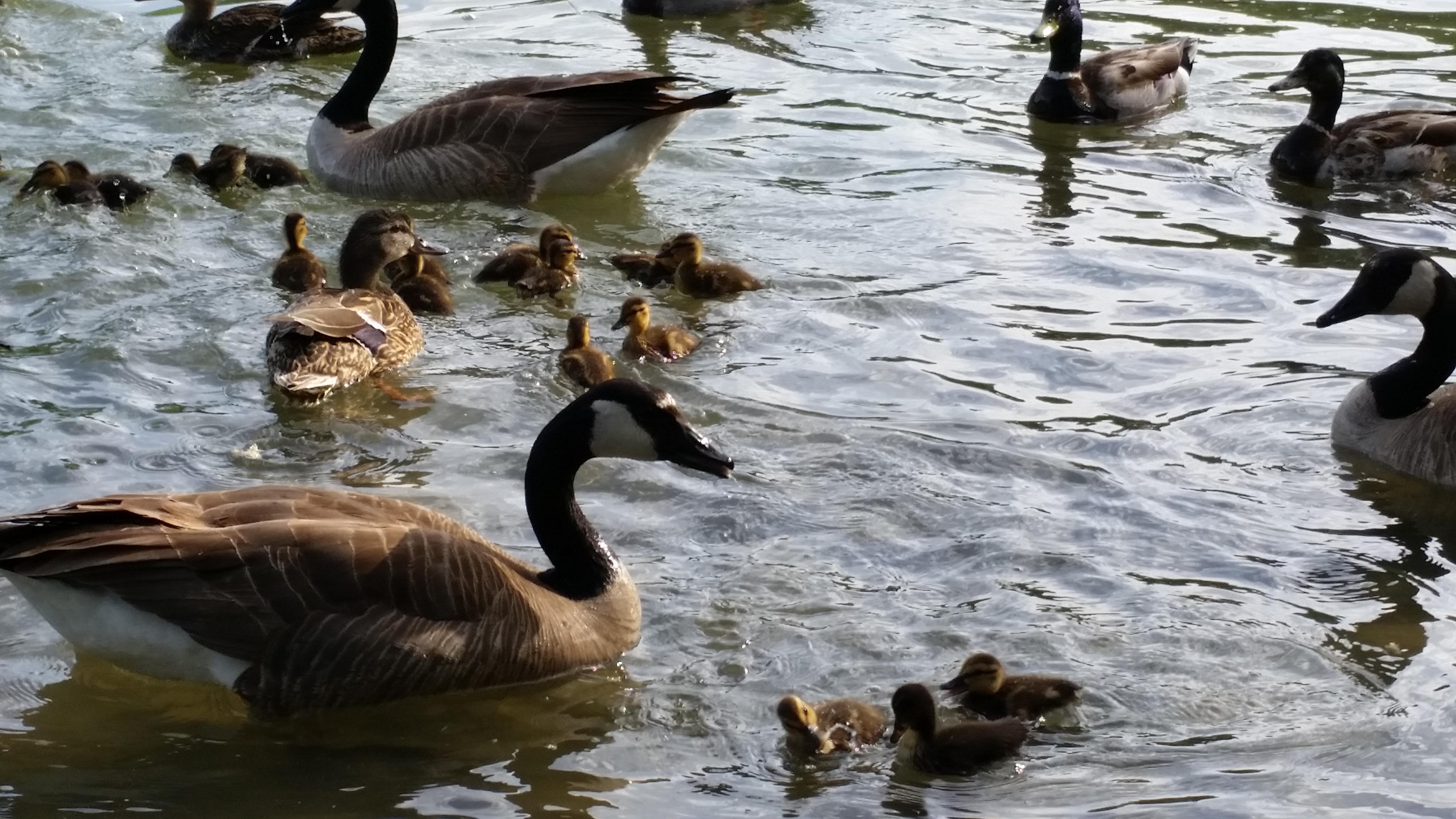 Geese at Liberty Park